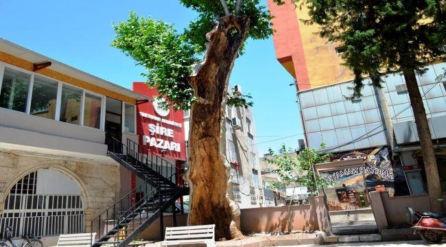 400 yıllık çınar ağacı yeniden filizlendi - Videolu Haber