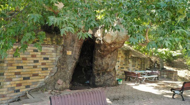 812 yıllık çınar ağacı korumaya alındı
