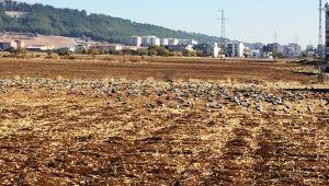 Adıyaman'da buğday ve arpa tarlasını kuş sürüsü istila etti