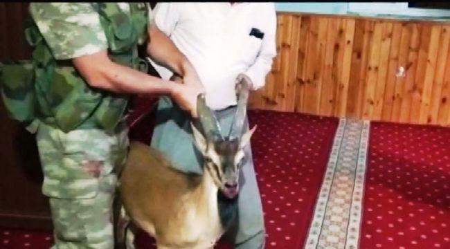 Adıyaman'da camiye giren yaban keçisi güçlükle çıkarıldı - Videolu Haber