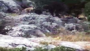Adıyaman'da koyunlarını otlatan çoban çizgili sırtlanı fotoğrafladı - Videolu Haber