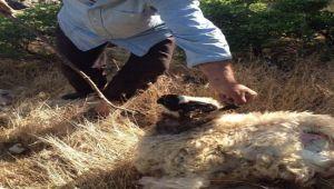 Adıyaman'da Kurtlar Keçi Sürüsüne Saldırdı 12 Küçükbaş Telef Oldu