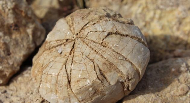 Adıyaman'lı Çoban, 85 Milyon Yıl Öncesine Ait Deniz Kestanesi Fosili Buldu - Videolu Haber