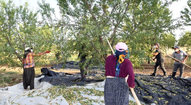 Badem diyarı Adıyaman'da hasat başladı