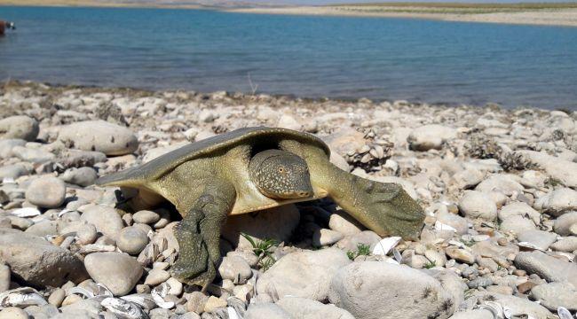 Balıkçıların ağına nesli tükenmekte olan Fırat Kaplumbağası takıldı - Videolu Haber