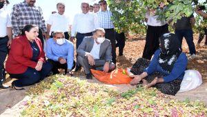Besni'de 'Antep Fıstığı' hasadı başladı