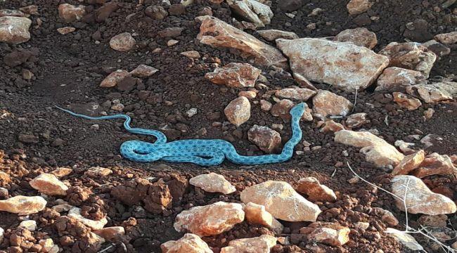 Besni'de Mavi Renkte Sikkeli Yılan Görüldü