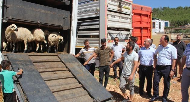 Genç Çiftçilere Küçükbaş Hayvan Dağıtımı