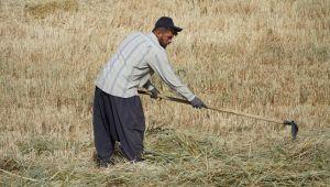 Gölbaşı'nda firiklik buğday hasadı başladı - Videolu Haber