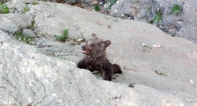 Kayalıklarda Mahsur Kalan Yavru Ayı Kurtarıldı - Videolu Haber