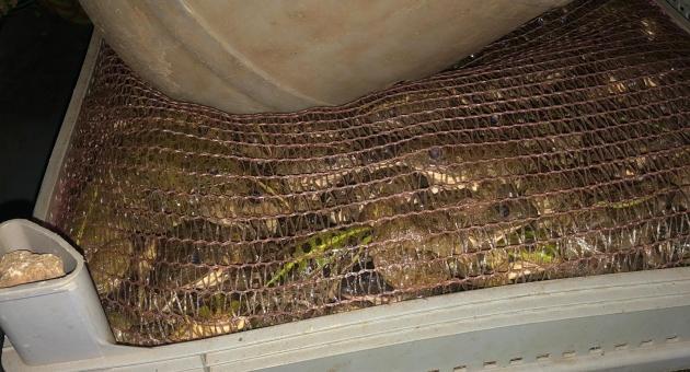 Otomobilde 3 Bin Kurbağa Ele Geçirildi: 5 Gözaltı  - Videolu Haber