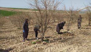 Samsat'ta kadınlar nar çapalama işine başladı
