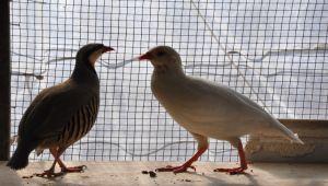 Tarım Arazilerini Haşerelerden Korumak İçin Keklik Üretiyor