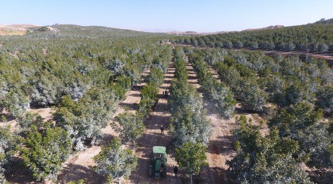 Türkiye'nin en büyük kapama ceviz bahçesinde hasat başladı