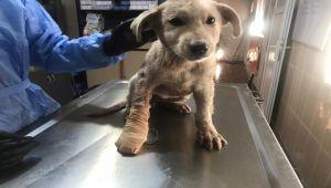Yaralı Köpeğin Ayağı, Ameliyatla Kurtarıldı